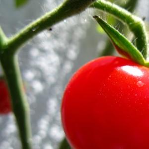 Tomato. Image courtesy of Flickr user photon_de.