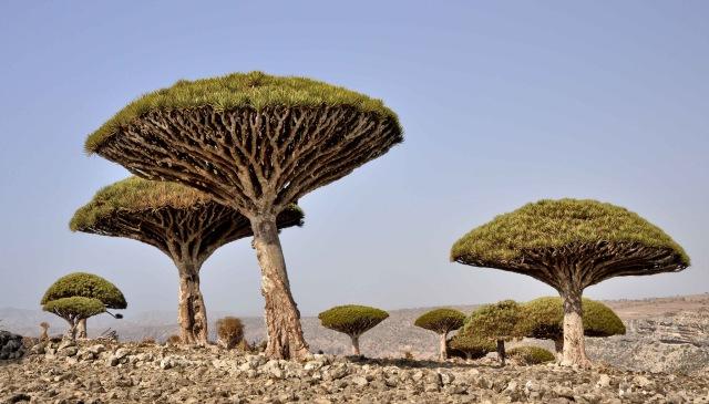 Dragon's Blood trees, Socotra (Rod Waddington/Flickr).